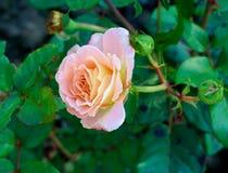 桃红色和桃子上升了 免版税库存照片