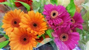 桃红色和橙色大丁草花 库存图片