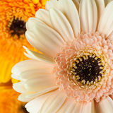 桃红色和橙色大丁草头状花序 免版税图库摄影
