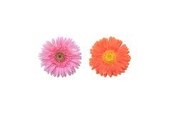 桃红色和橙色大丁草 免版税图库摄影