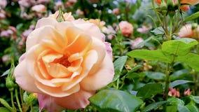 120桃红色和橙色玫瑰的fps超级慢动作在风 股票录像