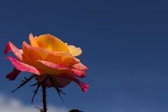 桃红色和橙色罗斯 免版税图库摄影