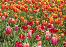 桃红色和橙色郁金香 图库摄影
