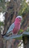 桃红色和灰色节目/Galah鹦鹉在Drouin维多利亚澳大利亚 免版税图库摄影