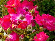 桃红色和白玫瑰开花 免版税库存图片