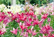 桃红色和白百合在公园 免版税库存图片
