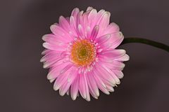 桃红色和白色大丁草花关闭在黑暗的背景 免版税图库摄影