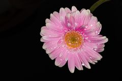 桃红色和白色大丁草花关闭在黑背景 免版税库存照片