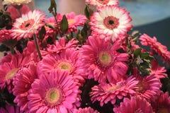 桃红色和白色大丁草花花束混合在一起 免版税库存图片