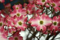 桃红色和白色开花 库存照片