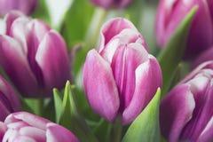 桃红色和白色春天郁金香花束  免版税图库摄影