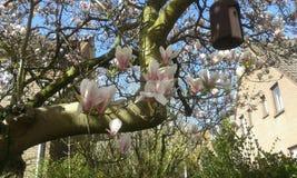 桃红色和白色木兰开花 免版税库存图片