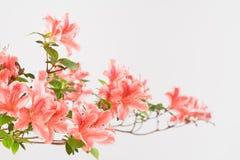 桃红色和白色杜娟花绽放 免版税库存照片