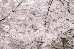 桃红色和白色樱花在庭院里 免版税库存照片