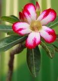 桃红色和白色沙漠上升了 图库摄影