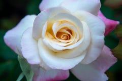 桃红色和白色玫瑰 免版税库存照片