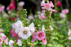桃红色和白色蜀葵花 免版税库存照片