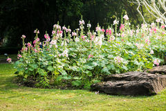 桃红色和白色蜀葵花 库存照片