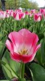 桃红色和白色郁金香在Gruga公园 免版税库存照片