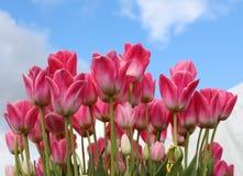 桃红色和白色郁金香明亮在一朵蓝色云彩下散布了天空 库存照片