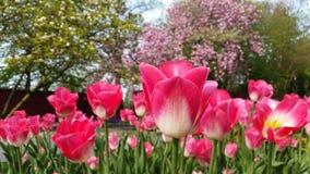 桃红色和白色郁金香补丁在Gruga公园 库存照片