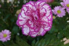 桃红色和白色颜色-正面图有吸引力的花  免版税库存照片