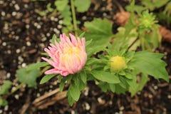 桃红色和白色Strawflower Xerochrysum bracteatum 库存照片