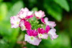 桃红色和白花从事园艺床 免版税库存照片