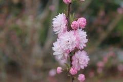 桃红色和白花 免版税图库摄影