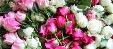 桃红色和空白玫瑰 库存图片