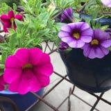 桃红色和紫罗兰色喇叭花 库存照片