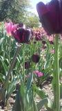 桃红色和紫色tulipan 库存图片