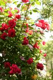 桃红色和红色上升的玫瑰在春天在植物园里 绿色背景 免版税图库摄影