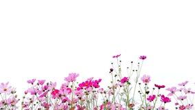 桃红色和红色庭院波斯菊花或墨西哥翠菊与绿色词根 免版税库存照片