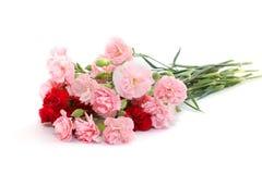 桃红色和红色康乃馨 库存图片