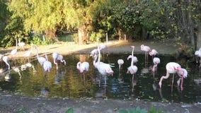 桃红色和红色火鸟在布拉格动物园里 影视素材