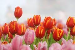 桃红色和红色郁金香在早晨薄雾(软的焦点)开花 库存图片