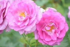 桃红色和美丽 库存照片