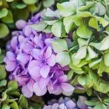 桃红色和蓝色八仙花属花在夏天庭院里 免版税库存照片