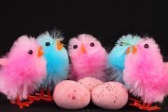 桃红色和蓝色复活节小鸡用鸡蛋 库存图片