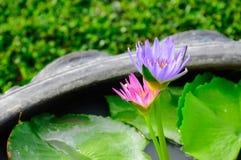桃红色和蓝色荷花在庭院里 库存照片