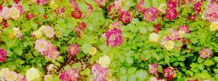 桃红色和黄色玫瑰色横幅 免版税库存图片