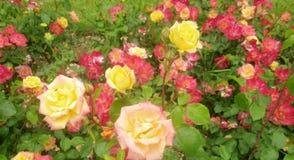 桃红色和黄色玫瑰2 图库摄影
