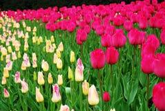 桃红色和黄色郁金香 库存照片