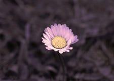 桃红色和黄色雏菊花 免版税库存照片