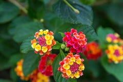 桃红色和黄色马樱丹属花在sunse 免版税库存照片