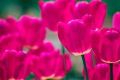 桃红色和紫罗兰色郁金香 免版税图库摄影