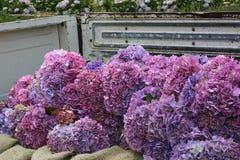 桃红色和紫色八仙花属 库存图片