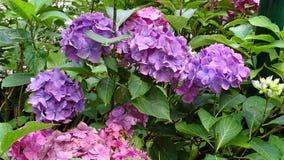 桃红色和紫色八仙花属 库存照片
