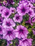 桃红色和紫色喇叭花花 免版税图库摄影